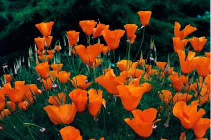 Esl california state facts and activities what is californias state flower a golden poppy mightylinksfo